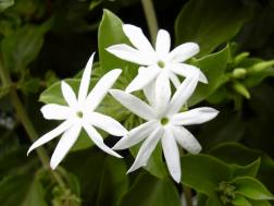 Jasminum multiflorum 'White Star Jasmine'