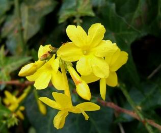 Jasminum nudiflorum flowers