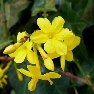 Jasminum nudiflorum flowers