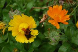 Marigold plus bee!