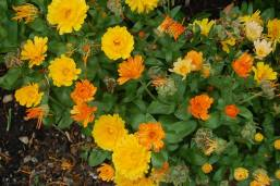 Marigolds- Education Garden