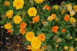 Marigolds- Education Garden