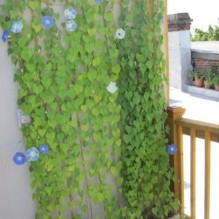 A simple 'flower wall' using Morning Glory