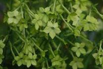 Nicotiana x sanderae 'Lime Green'