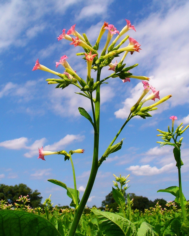 The tobacco plant - Nicotiana tabacum