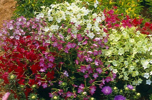 Nicotiana x sanderae hybrids