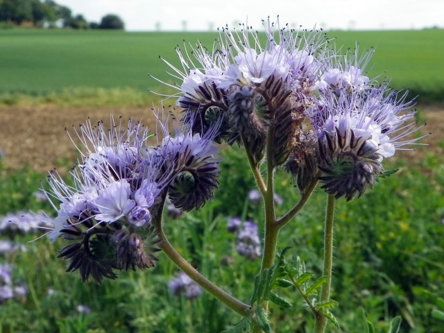 Phacelia tanacetifolia, a  'green manure' that's good to look at and attractive to beneficial insects.