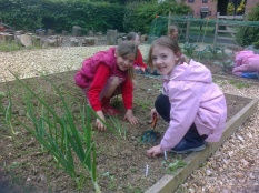 The 'joy of weeding' - onions and courgettes
