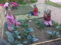 Cawston primary School- weeding the cabbages and calabrese