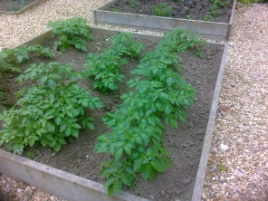 Potatoes well on the way