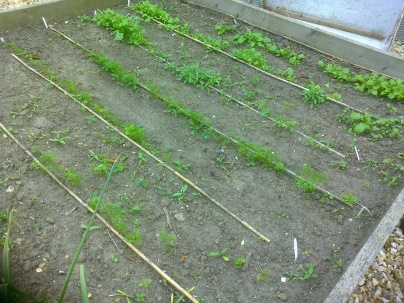 Turnips and carrots awaiting thinning