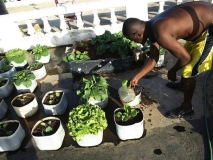 Rooftop veggy growing, Jamaican style