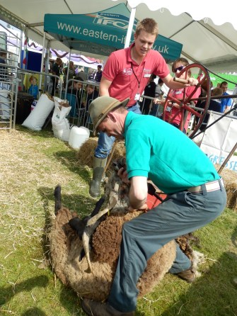 Richard Dalton sheep shearing