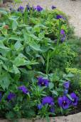 Pansies, Centranthus and Euphorbia in the old trough
