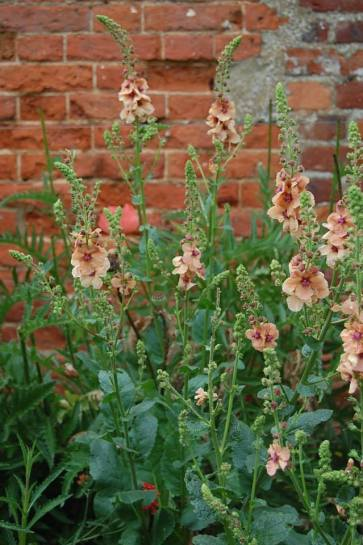 Verbascum, Education Garden