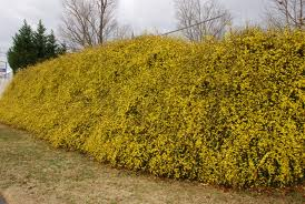 Jasminum nudiflorum hedge