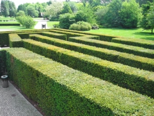 Mazes are often created from Yew hedging - usually an annual cut will keep it looking trim