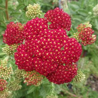 A. millefolium 'Red Velvet'