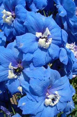 D. 'Blue Nile'