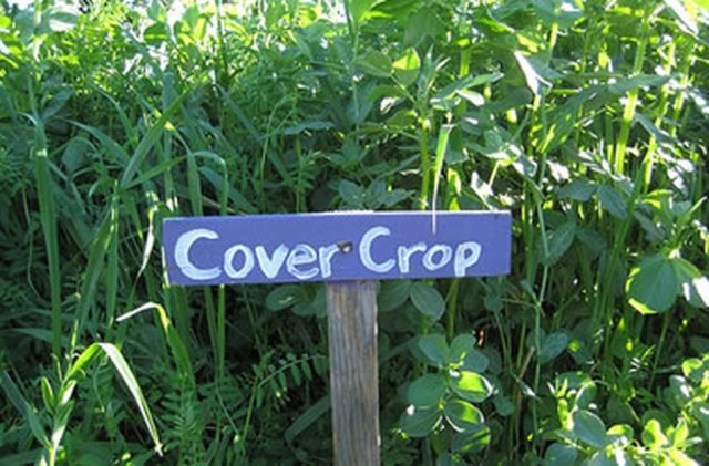 garden cover crop. Cover Crop My Previous Articles On Green Manure Have Covered The Why, What, Where And When \u2013 This Final Article Deals With How To Use Them Best Effect. Garden R