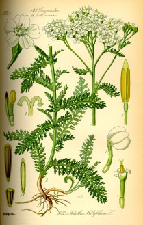Illustration of A. millefolium