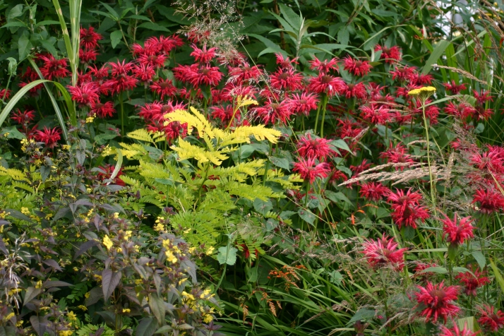 monarda 'Cambridge Scarlet' in one of the borders at Old School Garden,sittign well alongside a young Gleditsia triacanthos