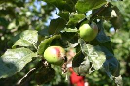 Norfolk Beefing (or Biffen) apples