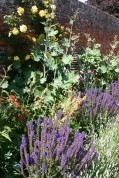 Close up of Salvia and Macleaya 'Flamingo'