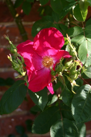 Climbing Rose in the Education Garden