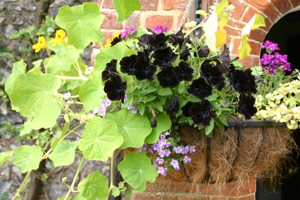 An unusual 'black' Petunia in one of the hanging baskets at Old School Garden