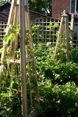 Home made obelisks in Old School Garden used for Runner Beans and Sweet Peas