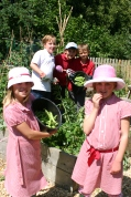 Harvesting Broad Beans at Cawston Primary School