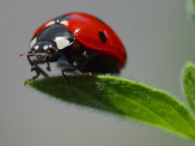 'Bishybarnabee' - or a ladybird- will eat loads of aphids at one sitting