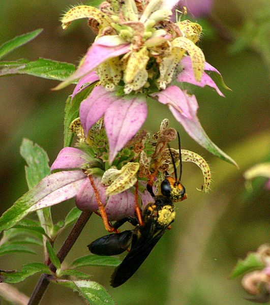 Wasp on a Monarda punctata