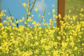 Mustard is a Brassica and grows very fast, but doesn't do well in very dry weather