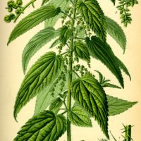 Nettles: from bad press to 'a good Press'