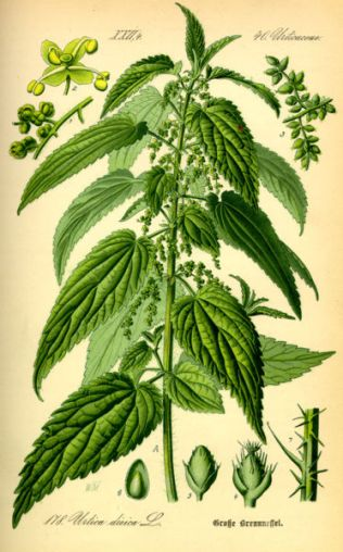 Urtica dioica - the perennial or common stinging nettle