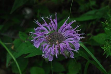 Monarda fistulosa ('Wild, Bergamot')