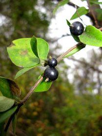 L. japonica - fruit