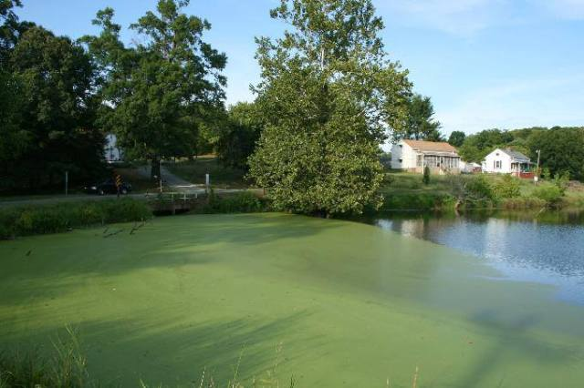 Pond algae can be reduced by increasing leaf cover on the water surface