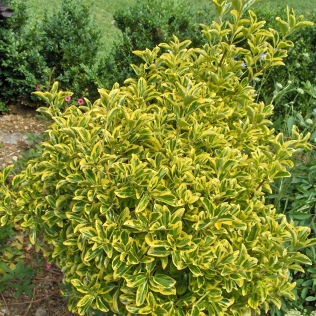 Euonymus japonicus aureo marginatus