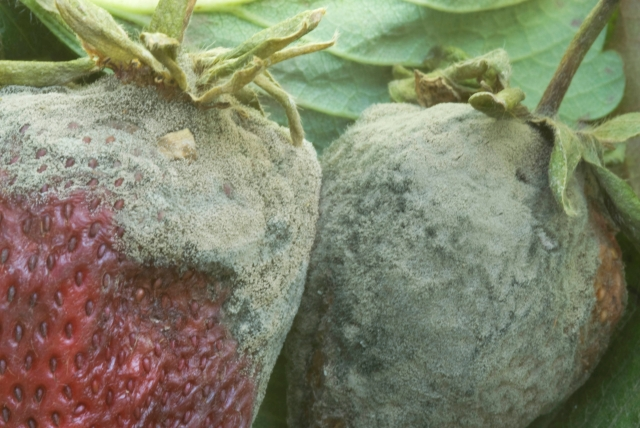 Grey mould on strawberries