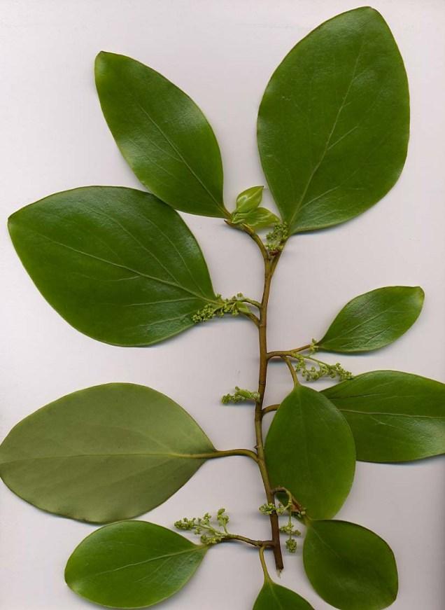Griselina littoralis