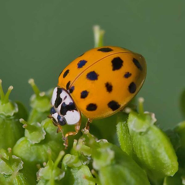 Harmonia axyridis, the Harlequin Ladybird