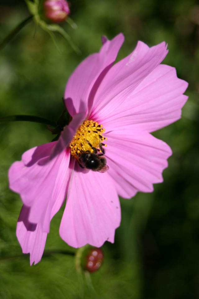 Cosmos looking good at Old School Garden