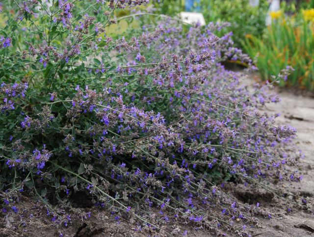 Nepeta makea a wonderful sprawling edge to an informal border