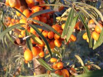 Sea Buckthorn close up