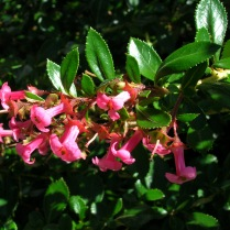 Escallonia rubra