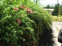 Escallonia rubra hedge