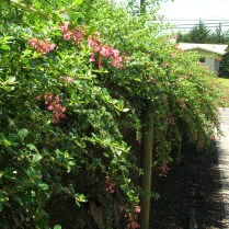 Escallonia rubra hedge